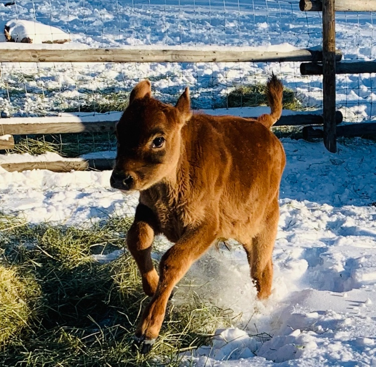 Baby jersey calf leaping in the air during winter