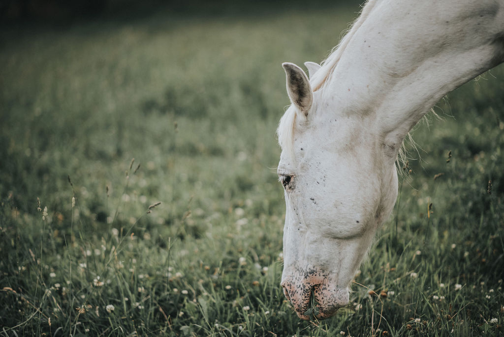 White male horse with his head down eating grass