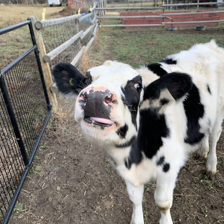 Little holstein calf sticking his tongue out