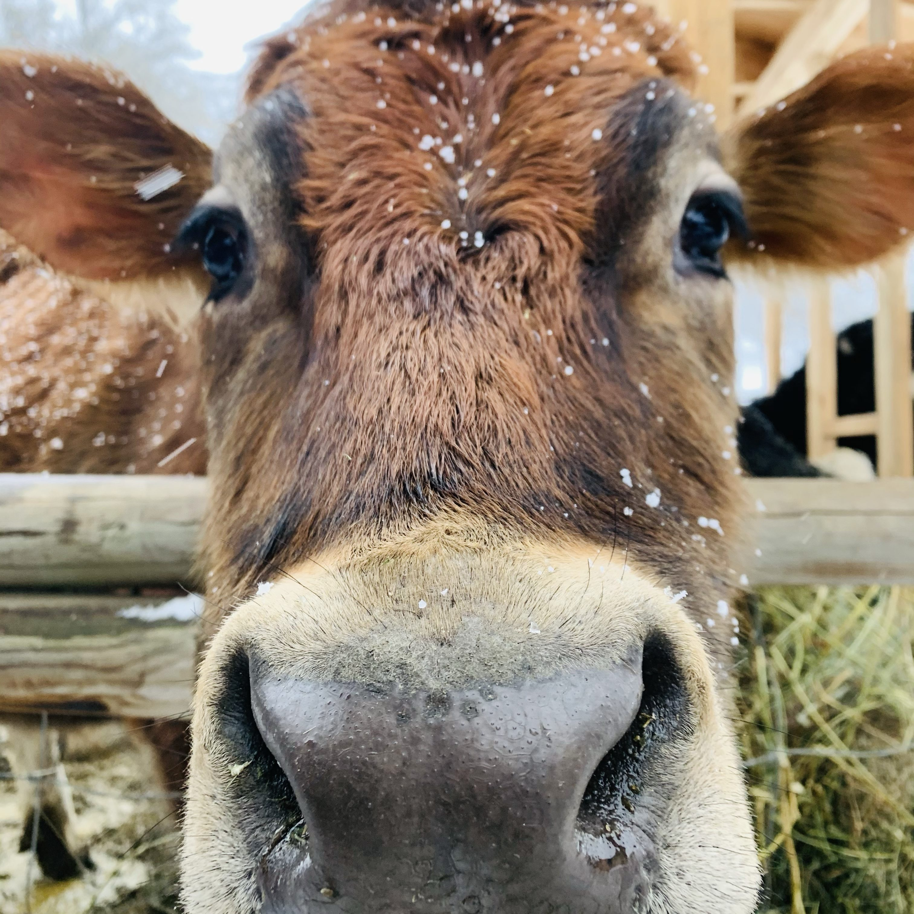 Close up photo of jersey cow with snow flakes on his head