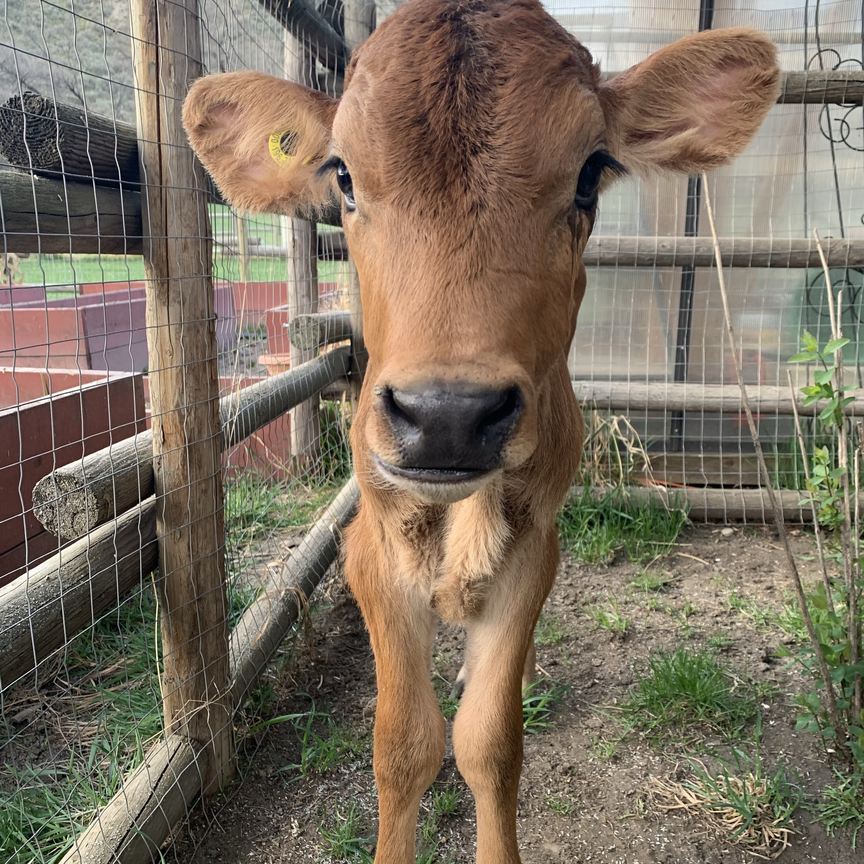 Baby jersey steer calf standing by a fence