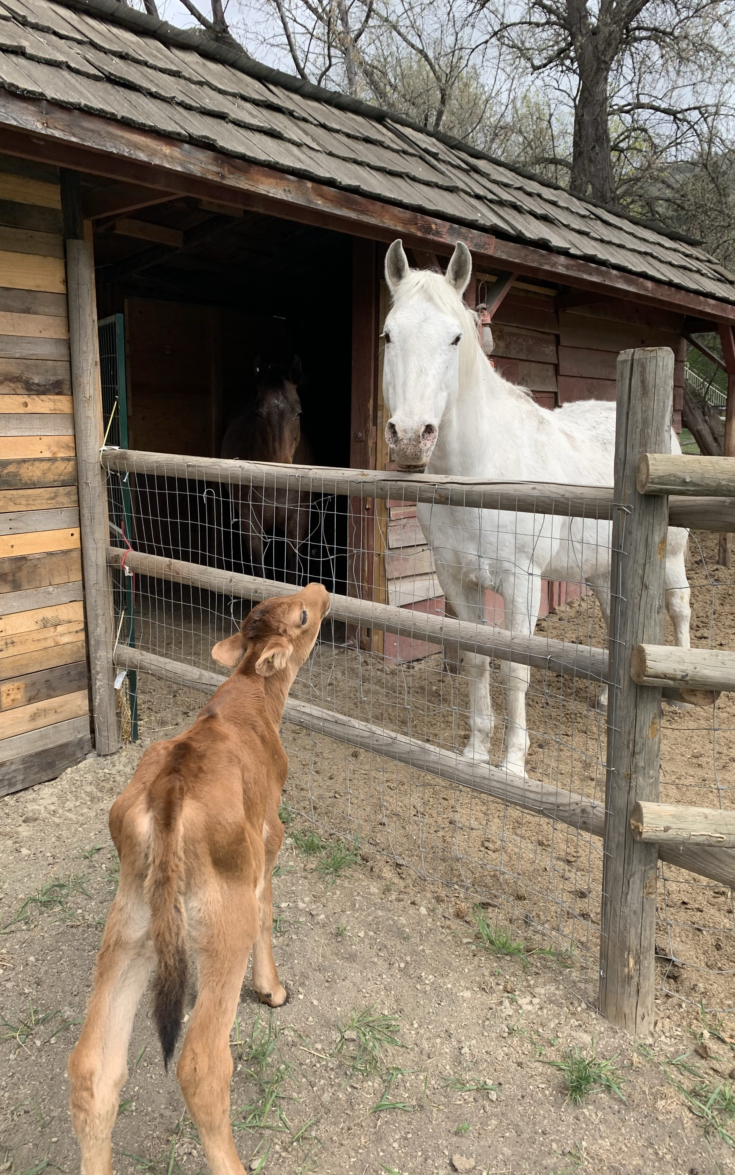 Small calf and white horse standing in front of each other between a wooden fence